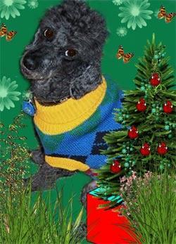 My friend's dog Zac at Xmas time.  — Donna