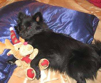 This is Cody Jones Demmler, my pomeranian pup, sleeping with his toy reindeer.  — Merryn