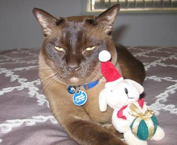 "Kia, our chocolate Burmese, hates getting dressed up for his Christmas picture, can't you tell?  — Lynne    Send this photo as an [e-card](/ecards.aspx?ecardid=2299|target=""_blank"")"