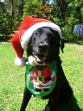 Sophie, our 5-year-old border collie x, getting into the Christmas spirit.  — Mel