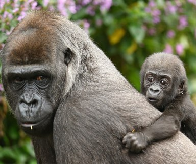 Mother love! Gorilla bonds with her baby