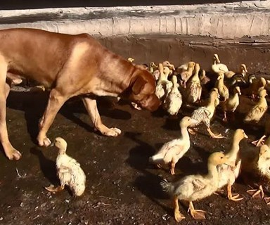 Rescue Dog raises hundreds of ducklings