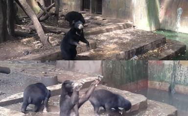 Horrifying footage of sun bears begging for food in Indonesian Zoo