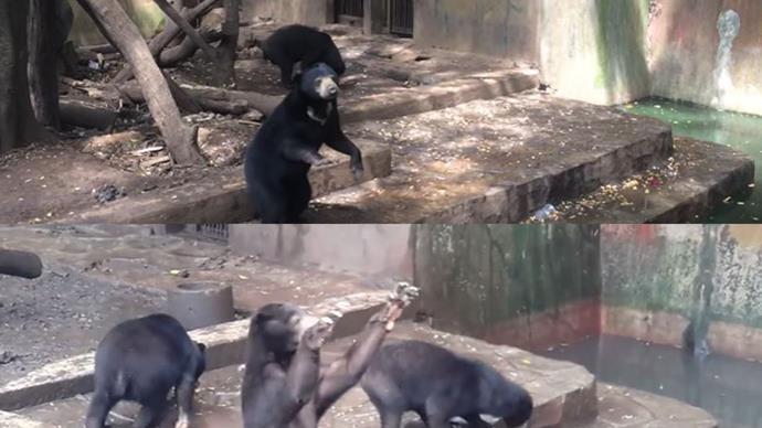 Sun bears at Indonesia's Bandung Zoo.