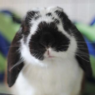 SPCA rabbit
