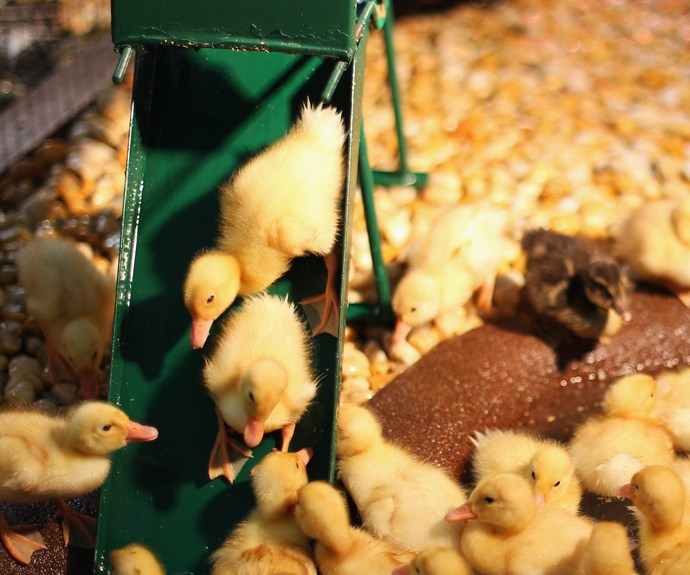 See ducklings hatch!