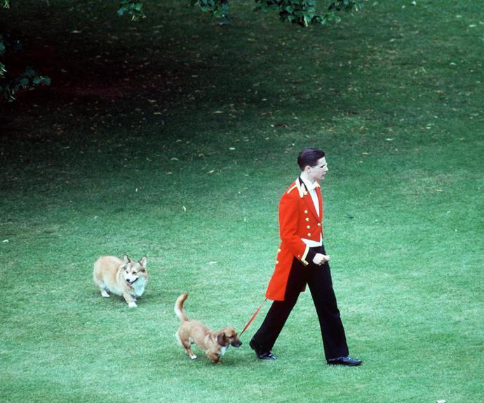 Footman walking the Royal Dogs, a dorgi and a corgi, in Buckingham Palace gardens.