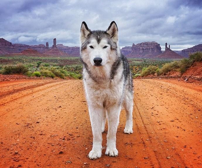 "Loki on a long desert road. **PHOTO CREDIT: [Instagram/loki_the_wolfdog](https://instagram.com/loki_the_wolfdog/ target=""_blank"")**"