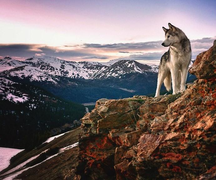 "Loki conquering mountains. **PHOTO CREDIT: [Instagram/loki_the_wolfdog](https://instagram.com/loki_the_wolfdog/ target=""_blank"")**"