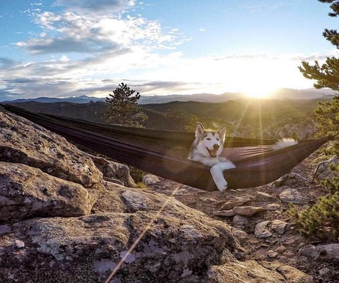 "Loki just hanging. **PHOTO CREDIT: [Instagram/loki_the_wolfdog](https://instagram.com/loki_the_wolfdog/ target=""_blank"")**"