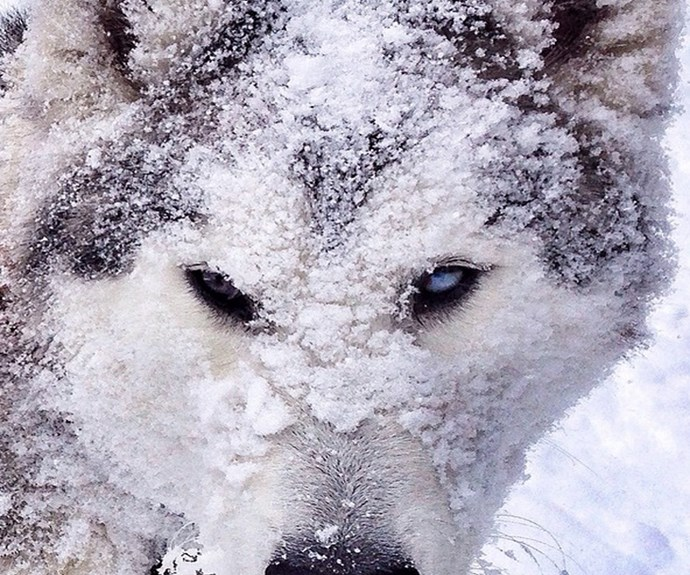 "Loki in camouflage mode. **PHOTO CREDIT: [Instagram/loki_the_wolfdog](https://instagram.com/loki_the_wolfdog/ target=""_blank"")**"