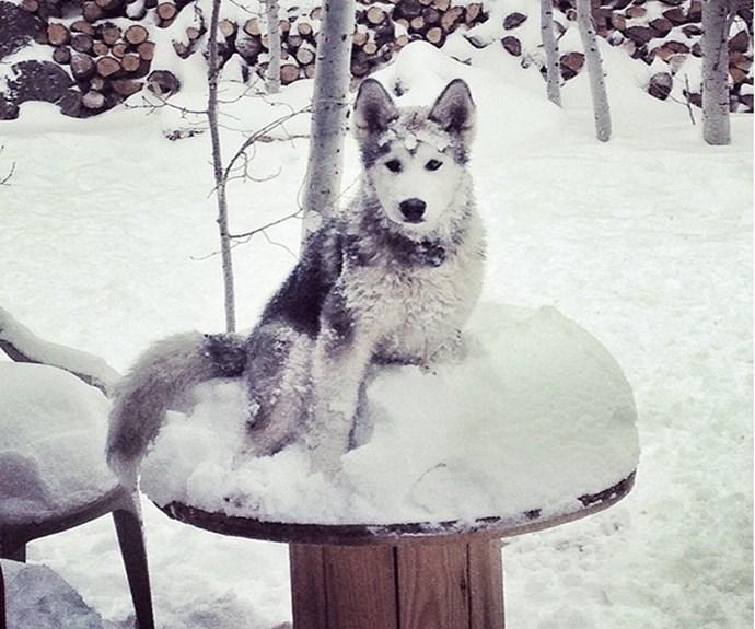 "Finally, Loki as a pup. **PHOTO CREDIT: [Instagram/loki_the_wolfdog](https://instagram.com/loki_the_wolfdog/ target=""_blank"")**"
