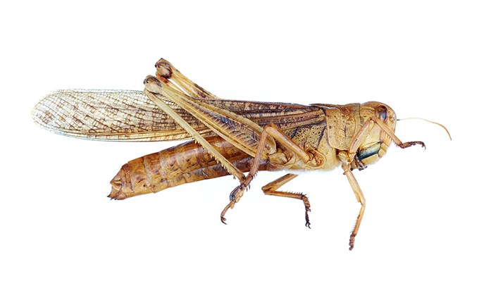 """""""Prawns of the sky"""": In evolutionary terms, arthropods such as locusts are related to lobsters and other crustaceans."""