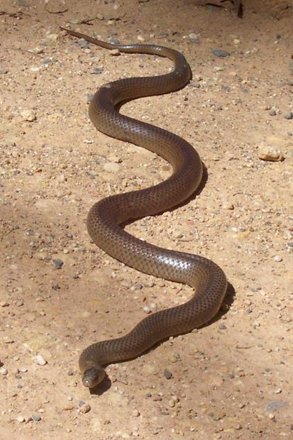 The eastern brown snake is Australia's most deadly. (Image: Peter Woodward).