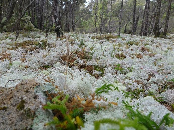 Lichen field where Poimena once stood on Blue Tier Plateau, Tasmania. (Image: Doug Beckers/Tasmania)