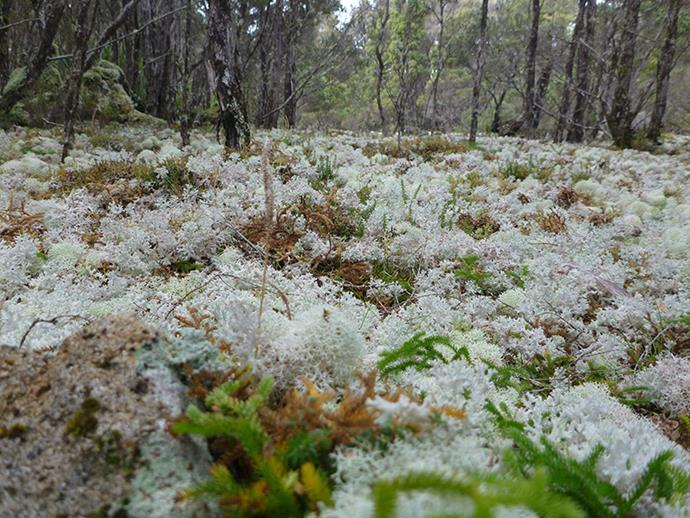 Lichen field where Poimena once stood on Blue Tier Plateau, Tasmania. (Image: Doug Beckers/Tasmania)