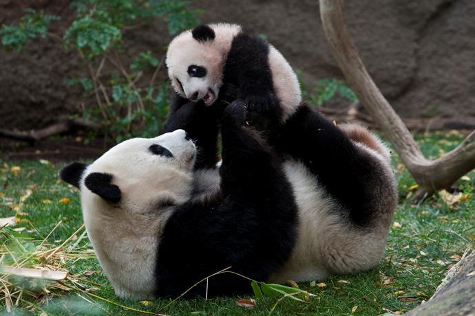San Diego Zoo's mother panda Bai Yun and baby panda Yun Z.