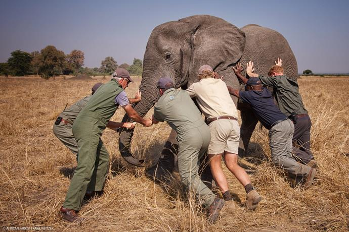 """A few of us trying to 'tip an elephant'. This young male was fighting the sedative drug and was headed towards the trees, which would have made it very difficult for us to get him on the truck. All directions were taken from Kester Vickery from Conservation Solutions and Andre Uys, the vet."" - Caption: Prince Harry via Kensington Palace"