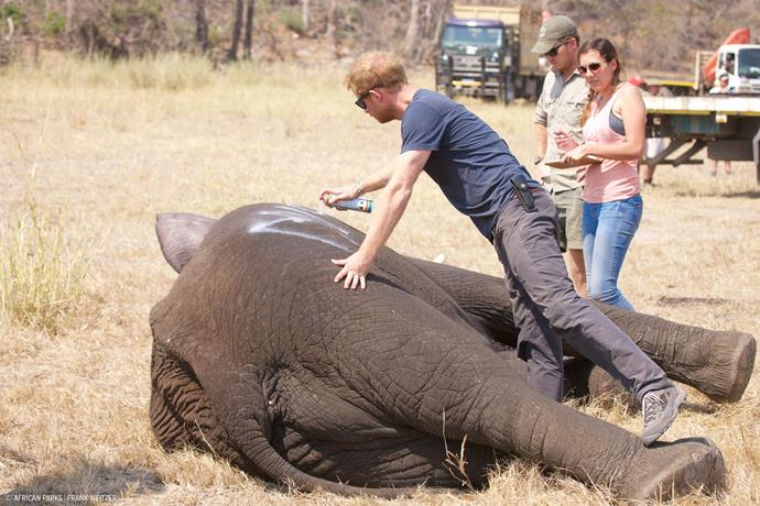 """Marking one of the young males so that he is easily identifiable when the family group is released back into the bush and we can keep them together. The spray paint disappears after a few days."" - Caption: Prince Harry via Kensington Palace"