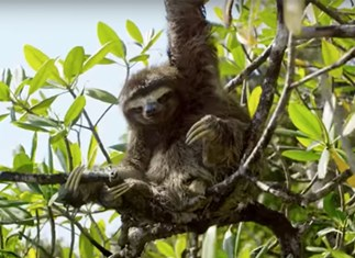 Here's a video of a horny sloth, searching for a mate