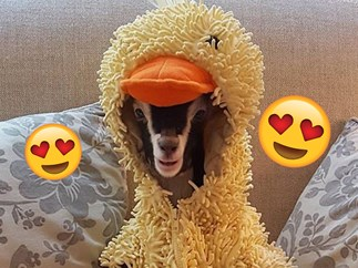 This baby goat with anxiety only feels ~relaxed~ in her duck costume