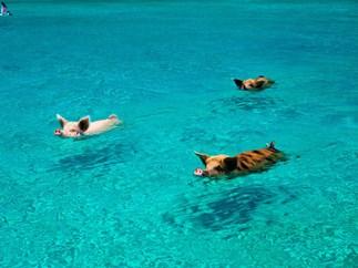 Swimming pigs.