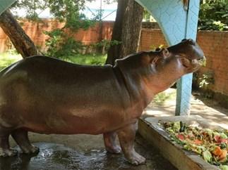 Gustavito hippopotamus dead
