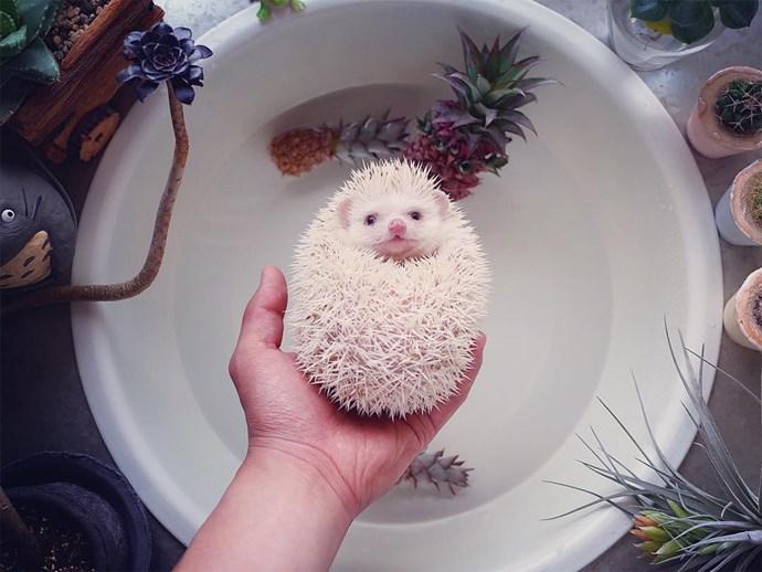 Matthew the Hedgehog.
