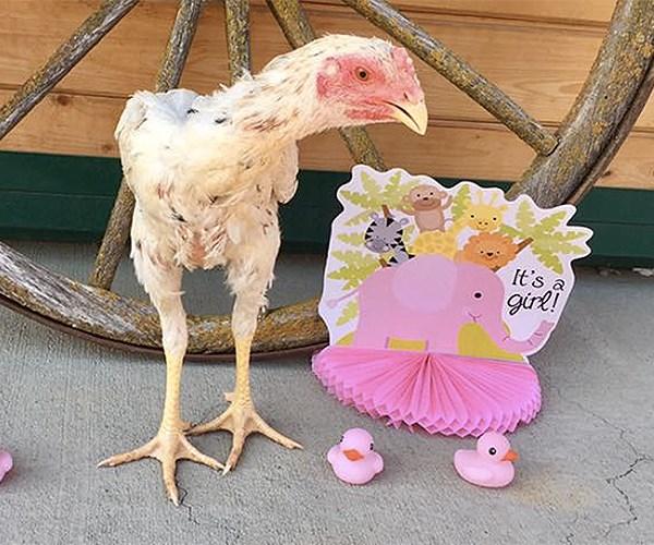 gender reveal chicken
