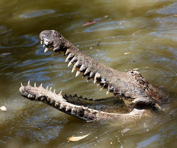 queensland crocodile