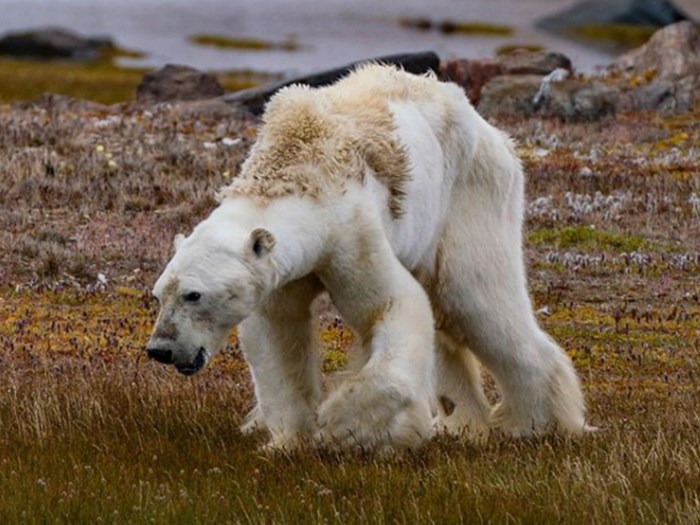 This Haunting Video of a Dying Polar Bear Will Break Your Heart