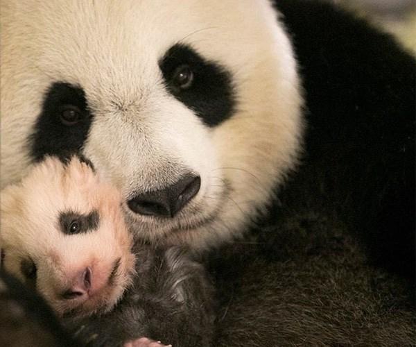 Baby Panda France