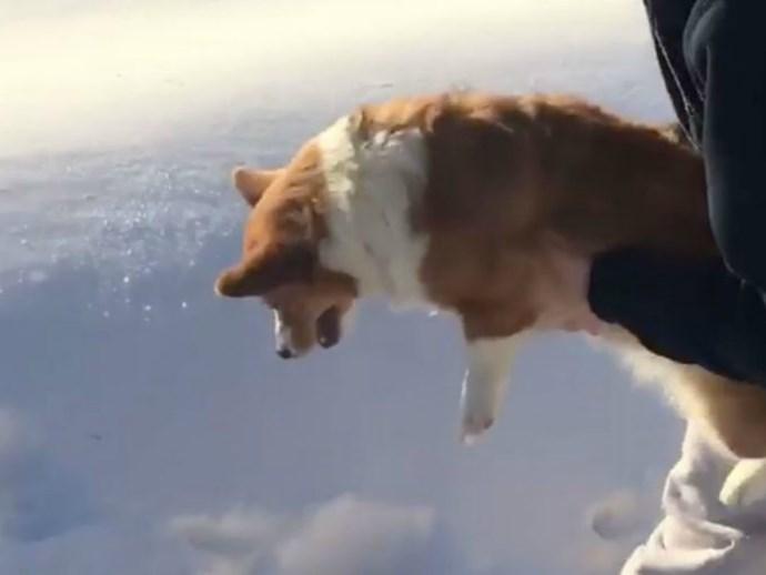 This 'skydiving' Corgi enjoys an incredibly soft landing