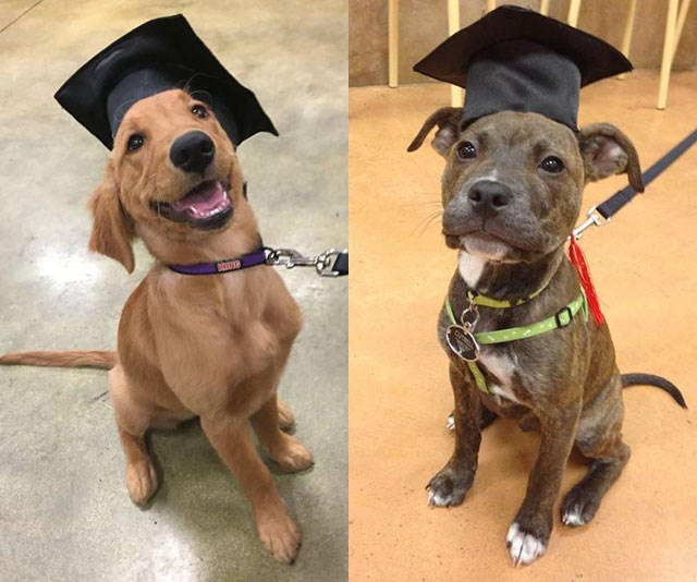 If you're getting ready to graduate, please do enjoy these 9 dogs in grad caps