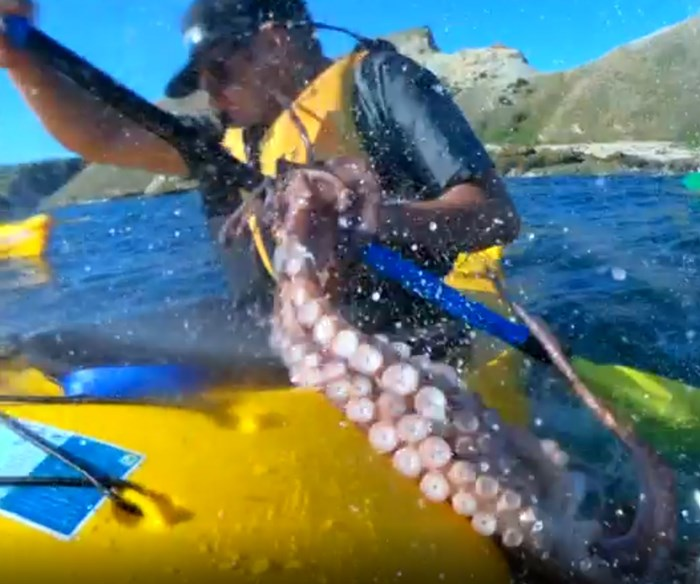 A seal bitch-slapped a kayaker in the face with an octopus, and we're dying