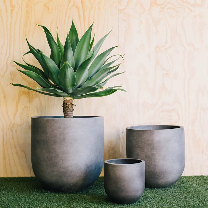 "***For your sun-drenched balcony***<br><br> Got a balcony or outdoor area that gets a lot of sun? You won't want anything too delicate...<br><Br> Try the agave attenuata or the ""foxtail agave"" (or ""lion's tail"" or ""swan's neck""). ""Great for bigger pots if you've got the space!""<Br><br> Image via [@thebalconygarden](https://www.instagram.com/p/BkO9zXHByBD/