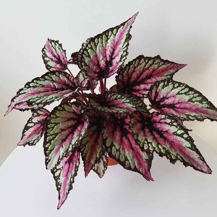 "***Your steamy high-use bathroom***<br><br> Although many are afraid of putting plants in bathrooms as the air humidity fluctuates constantly, there are lots of plants that love it.<bR><br> If you've got a bit of light in the bathroom, try a begonia. <bR><br> Image via [@aplantlady](https://www.instagram.com/p/BuByTv_giX-/|target=""_blank""