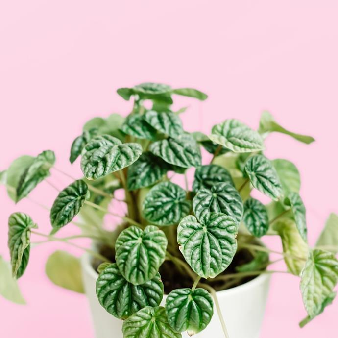 "***Your bedside table***<br><br> There's nothing cuter than having a plant keep you company at your bedside table, fact. If you're in the market, the Ivy Muse girls advise: ""Best tip for a plant on a bedside is keep the size compact so it doesn't become an annoyance!""<br><br> If you've got bright, indirect light, try an emerald peperomia or ""emerald ripple.""<br><br> Image via [@leafysundays](https://www.instagram.com/p/BtHGMVFAJi4/