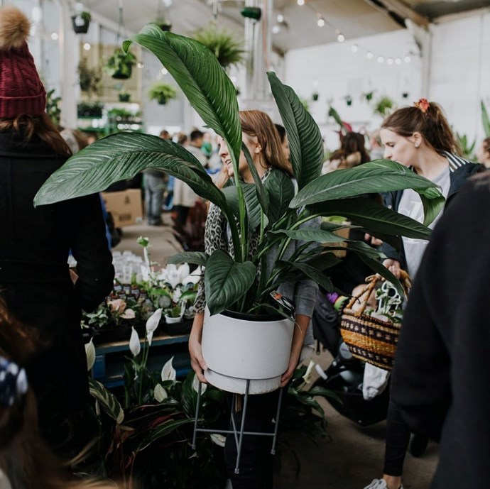"***That super low-light room***<br><br> Whether it's a dining room, a study or even your living room, everyone has that one room that rarely gets any sun. But that doesn't mean you can't put a plant in there!<bR><br> Try the spathiphyllum ""sensation"" or a large ""peace lily"". ""It has big, bold leaves and it's a doddle to care for.""<br><br> Image via [@houseplantjournal](https://www.instagram.com/p/Bp9iZe6gsjT/