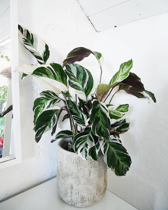 "**Capricorn:** ***Calatheas***<br><br>  Commonly called 'Zebra' or 'Peacock' plants, Calatheas will be right at home with Capricorn. Just like the earth sign, these babies are highly resilient, and don't mind drying out a bit between drinks.<br><br>  *Image via [@gro_urban-oasis](https://www.instagram.com/p/BvSOEB1A8X1/|target=""_blank""