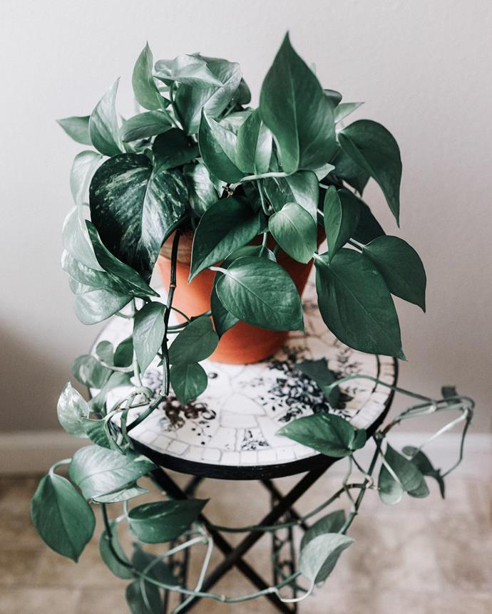 "**Libra:** ***Heartleaf Philodendron***<br><br>  Romantic Libras deserve equally romantic plants, and no fauna could be more suited to the job than a Heartleaf Philodendron cascading out of its pot. Also referred to as 'Sweetheart' Philodendron, it thrives in medium or bright indirect light. Plant it in a smaller pot to prevent over-watering.<br><br>  *Image via [@gro_urban_oasis](https://www.instagram.com/p/BtzAZ4SgAF3/|target=""_blank""
