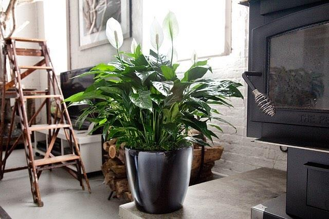 "**Cancer:** ***Spathapillum***<br><br>  Cancerians are known for their empathy and compassion, so it seems fitting that the best indoor plant for them also goes by the name 'Peace Lily'. Found by NASA to be one of the top indoor plants for cleaning the air, these beauties are also highly adaptable and low maintenance, allowing them to survive in darker rooms.<br><br>  *Image via [@gro_urban_oasis](https://www.instagram.com/p/BnztxWFlNWD/|target=""_blank""