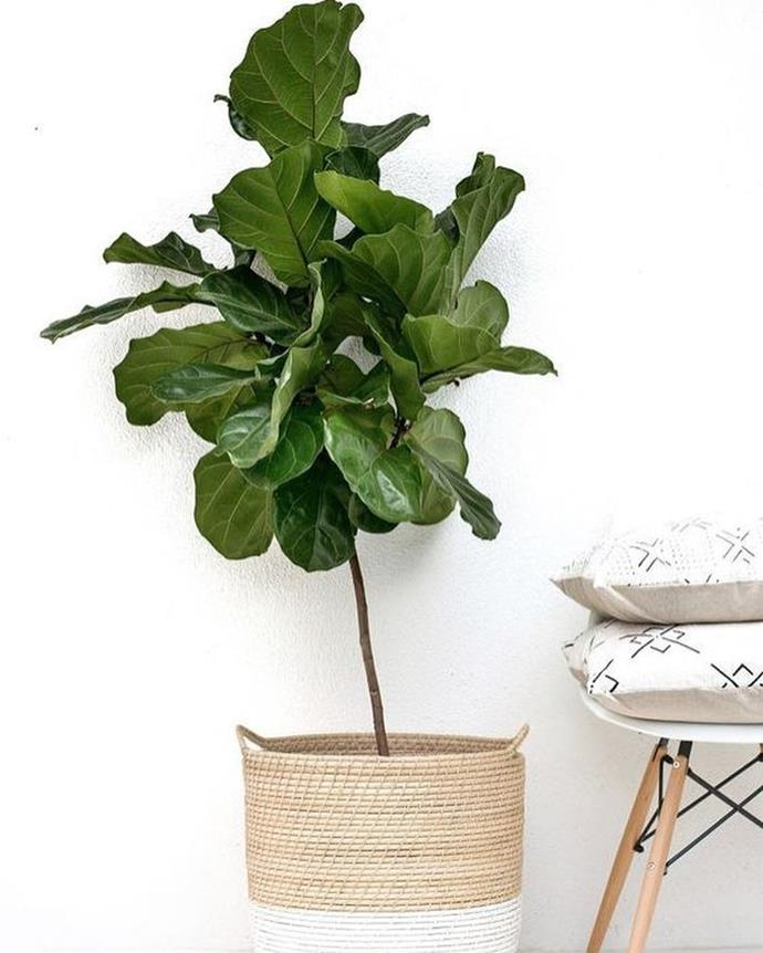 "**Virgo:** ***Fiddle Leaf Fig***<br><br>  Just like Virgo, the Fiddle Leaf Fig is modest yet powerful, thanks to its thin stem and standout leaves. It only needs water once a week, growing best in well-lit spots, particularly during spring and summer.<br><br>  *Image [@gro_urban_oasis](https://www.instagram.com/p/BnhrZD2llg5/|target=""_blank""