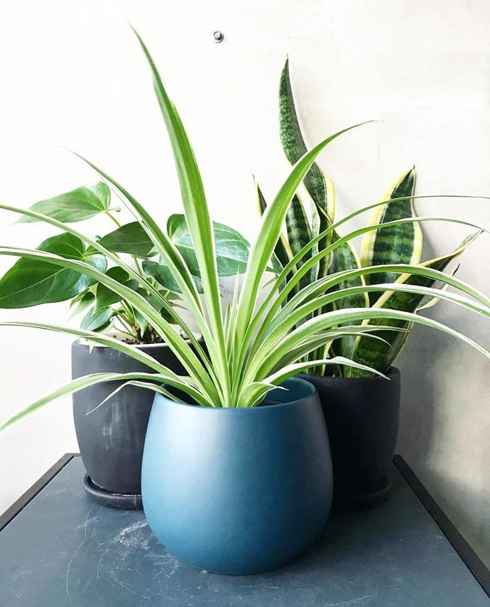 "**Aries:** ***Spider Plant***<br><br>  The ultimate match for the bold and fiery Aries, Spider Plants command attention from every angle. They're also very easy to care for—just avoid over-watering them as they aren't big fans of soggy soil!<br><br>  *Image via [@gro_urban_oasis](https://www.instagram.com/p/BoIMuKIFGFZ/|target=""_blank""