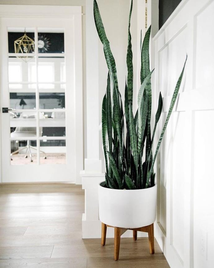 "**Scorpio:** ***Sansevieria Trifasciata***<br><br>  Colloquially known as 'Mother-In-law's Tongue', 'Snake Plant' and 'The Sword of Saint George', this plant of many powerful names is perfect for Scorpio. And like Scorpio, they are subtle yet striking, growing vertically rather than spilling into the room. They are also very hardy, and do best when you almost forget about them!<br><br>  *Image via [@gro_urban_oasis](https://www.instagram.com/p/Bj8YE9zAuzL/|target=""_blank""