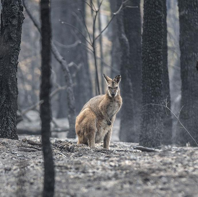 "**Jessica Hromas, *The Guardian* picture editor** <br><br> ""I found this wallaby by the side of the road in burnt out country just outside of the small town of Kangaroo Valley, NSW. The devastation to animals and their habitat is just heartbreaking. I had a box in the car, so I filled it with water and left it there for the wallaby. Hopefully, it helped if only for day. I want people to wake up to the effects of climate change. These fire are unprecedented. I hear firefighters and scientist say it over and over again, here. Yes, bushfires have always been part of the country's environment—but never like this. This is climate change, period. This is what it looks like."" <br><br> *Image: @jessicahromas/*The Guardian"