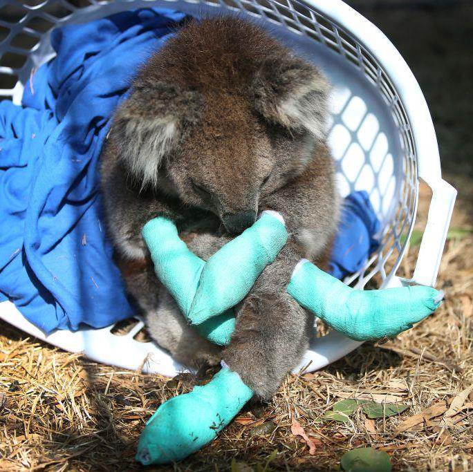 "**Lisa Maree Williams, Freelance Photographer** <br><br> Lisa was unable to speak with *ELLE.com* for this story, because she is currently on assignment for Trotter with Getty. This is the caption that accompanies her photograph, above: ""An injured koala rests in a washing basket at the Kangaroo Island Wildlife Park in the Parndana region on January 8, 2020 on Kangaroo Island, Australia. The Kangaroo Island Wildlife Park positioned on the edge of the fire zone has been treating and housing close to 30 koalas a day. Bushfires continue to burn on the island, with firefighters pushing to contain the blaze before forecast strong winds and rising temperatures return."" <br><br> *Image: Lisa Maree Williams/Getty*<br><br> ***Story via [ELLE.com](https://www.elle.com/culture/career-politics/a30430285/australian-bushfire-photographers-talk-crisis/