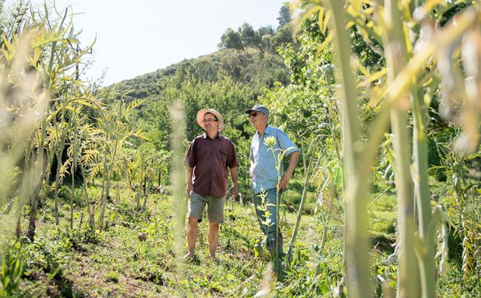 Globe artichokes are a family business at Ohaene Organics