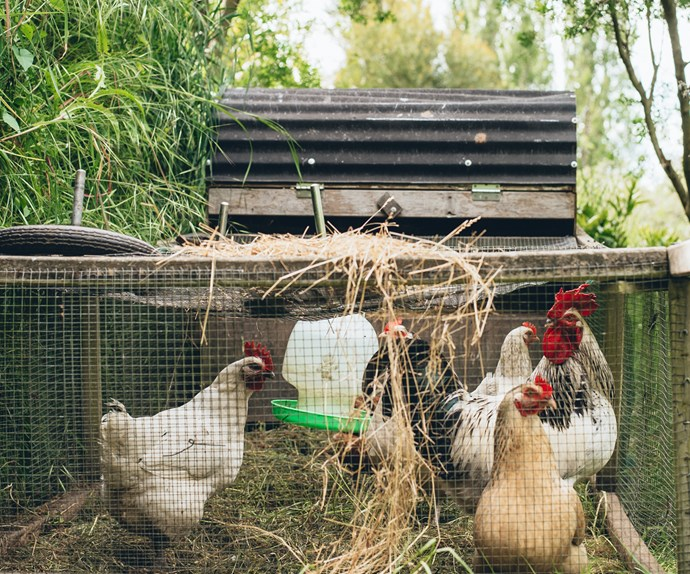 Farm fresh chooks provide fresh free-range eggs.