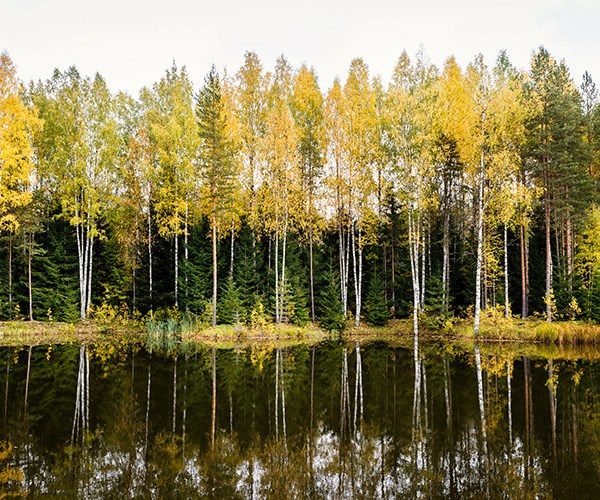 Birch trees along the Neva River